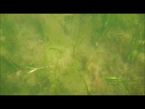 Studland Bay Eelgrass Underwater Video Survey Pass 1