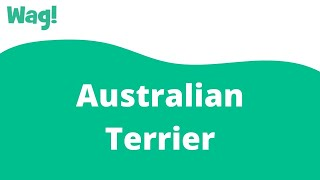 Australian Terrier | Wag!