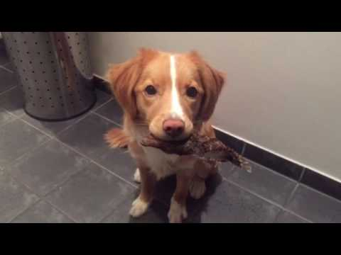 Moxie holding a grouse wing