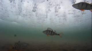 Рыбалка на Ангаре. Подводное видео. Аккуратная ловля рыбы в глухозимье.