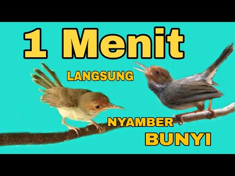 Free Download Suara Burung Prenjak Jantan Dan Prenjak Betina Gacor Cocok Buat Masteran Dan Pikat Mp3 dan Mp4