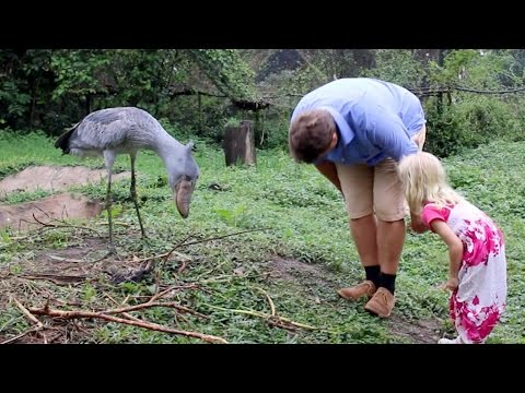 Shoebill Stork Is The Real Life Hippogriff