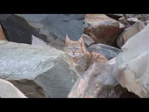 Swild's Shorts vol.19 - Chinese Mountain Cat