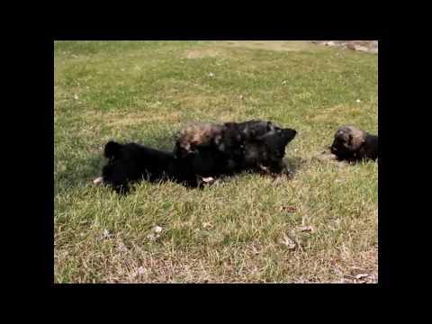 Bouvier de Flandres Puppies For Sale