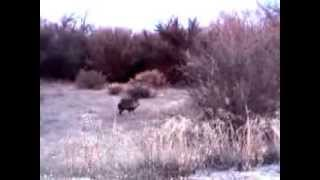 Arwen chases peccary