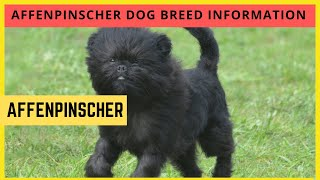dogs: Affenpinscher Dog Breed Information And Personality