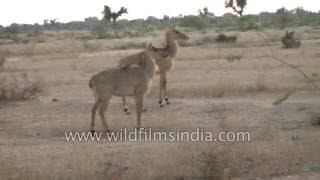 Rajasthani Bishnois protect these nilgai which really are antelopes and not cows thumbnail