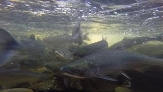 Alaska: Sockeye Salmon Run, Afognak. June 2014. Linda Collison. HD