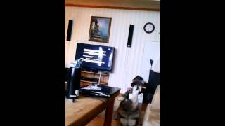 Dog sings to Two And A Half Men theme song
