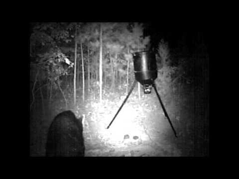 Bear on the Arkansas Homestead - Trail Camera Footage