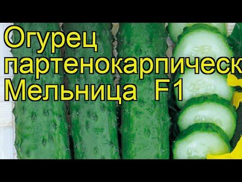 Вопрос: Сорт огурца Mapьинa poщa F1 хороший сорт для теплицы (см)?