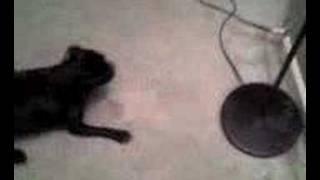 My Dog The Pug Barking At Lamp