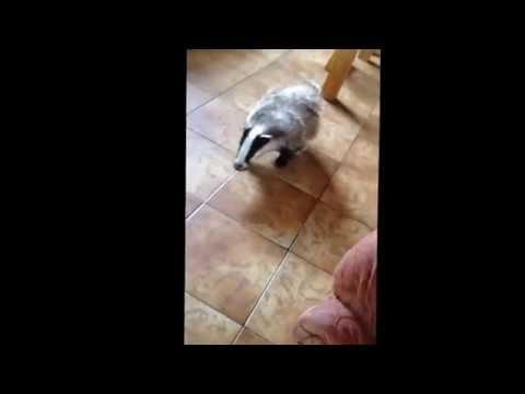 Bob the pet badger