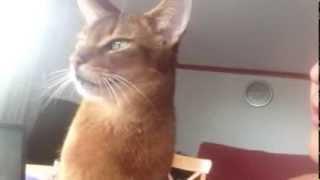 Abyssinian cat demanding kisses thumbnail