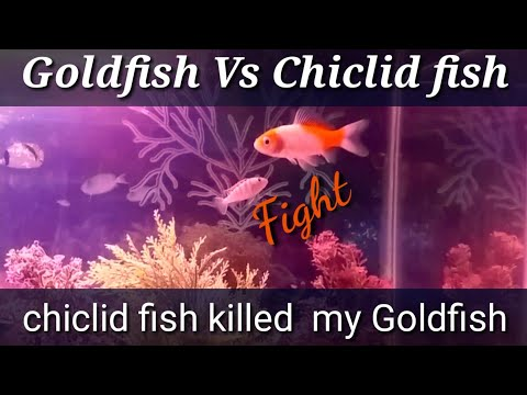 Don't Keep Goldfish With Chiclids