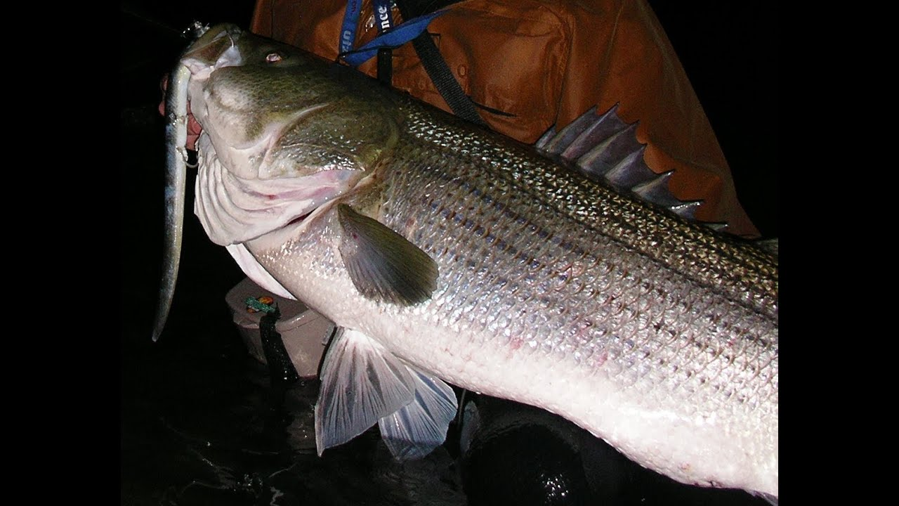 Striped bass fishing with live eels youtube for Striper fishing at night