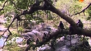 BBC Повесть о павлине и тигре