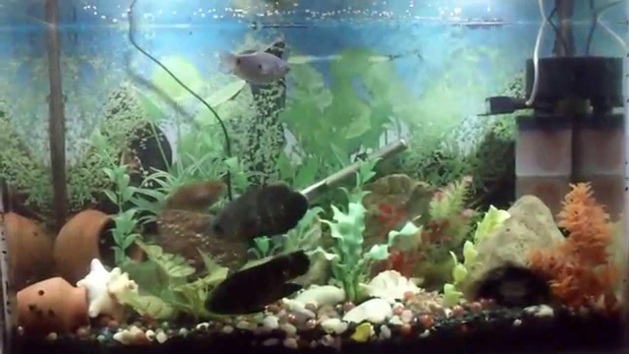 Killer freshwater aquarium fish - Oscar Killer Fish