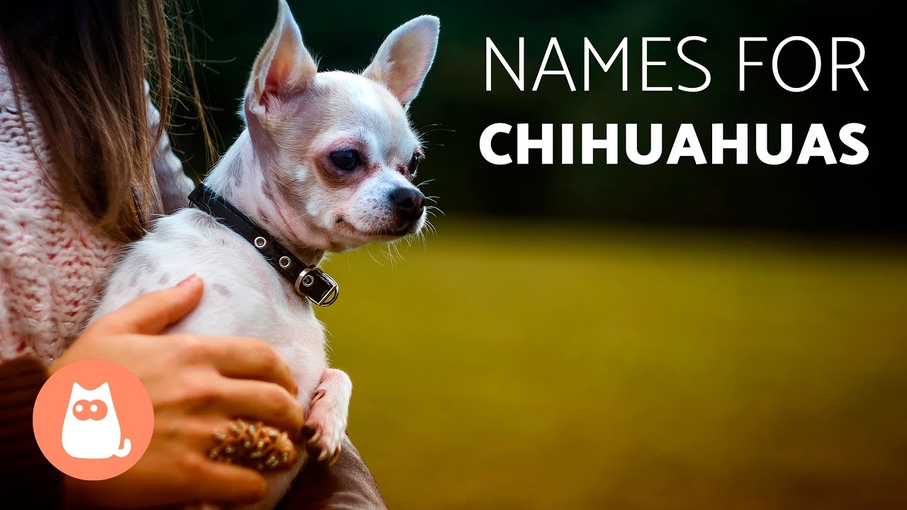 Great Names for Chihuahua Dogs - YouTube