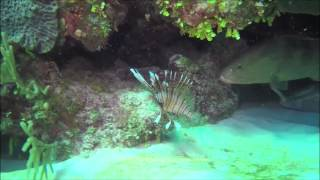 Grouper/ Invasive Lionfish Live Open Water Kill: Believed To Be The First Recorded Observation