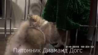 ПОМСКИ, Мини Хаски