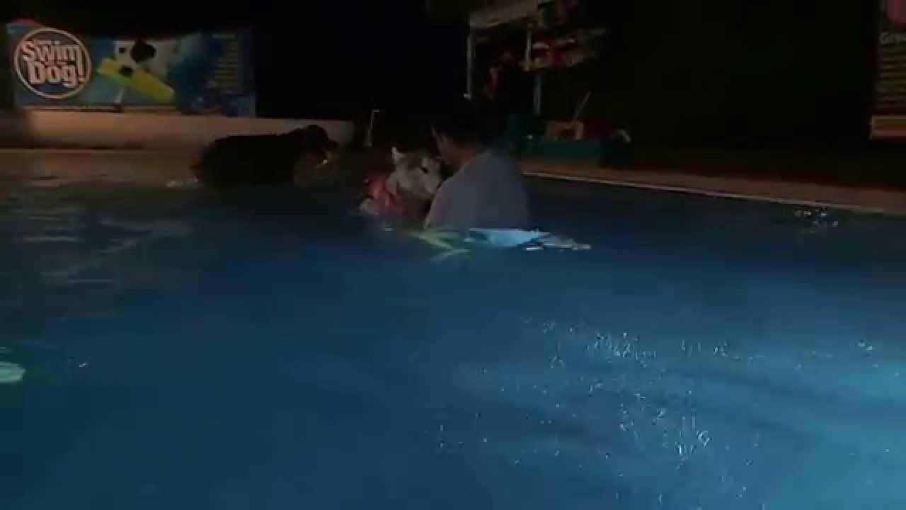 Night Time Swimming In A Swimming Pool With A Weimaraner Jae An Alaskan Malamuate Enke Youtube