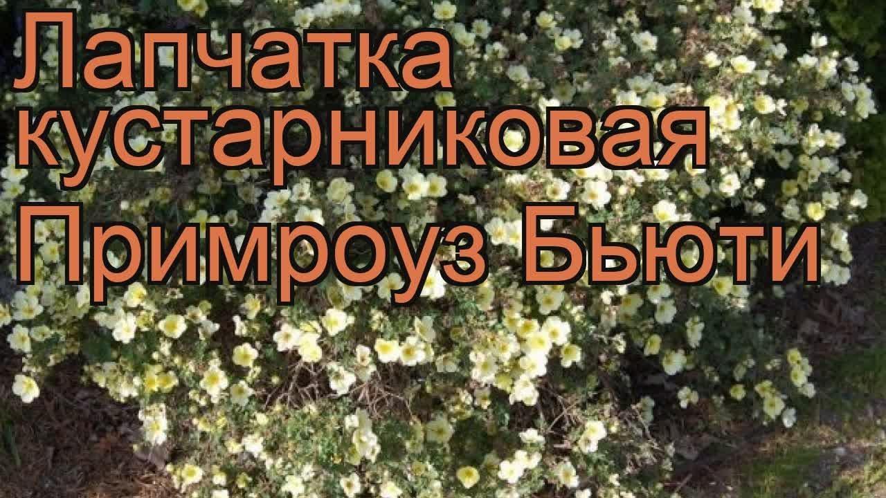 Все представленные сорта вечнозелёных рододендронов зимостойки в условиях. Рододендроны от