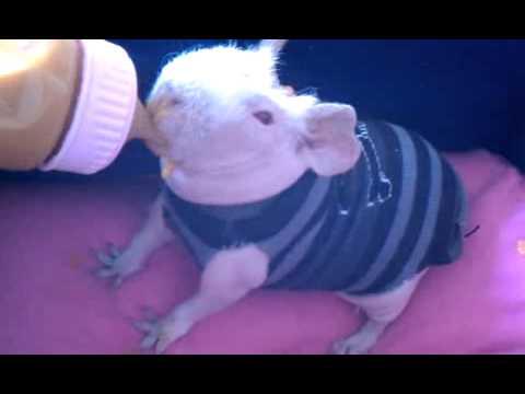 My Skinny Pig KitKat loving her baby food! - YouTube