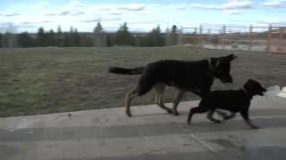 German Shepherd Puppy Won't Share Her Water Bowl!