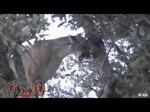 Cougar Hunts Guys 11