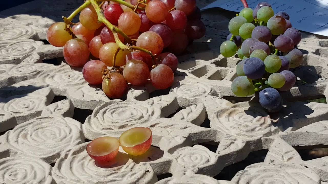 Wine wisdom table grapes vs wine grapes youtube - Table grapes vs wine grapes ...