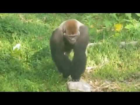 Gorilla in Limbe wildlife park, Cameroon
