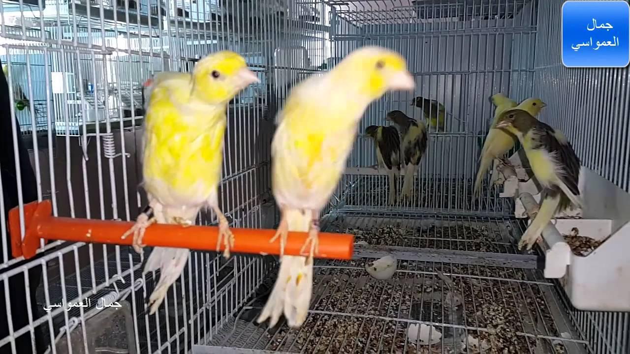 من اكبر مزارع طيور الكناري في الضفه رام الله وطرق علاجها مع جمال العمواسي Youtube