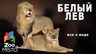 Белый лев - Все о виде хищных млекопитающих | Вид хищных млекопитающих белый лев