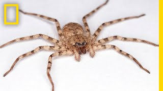 High-Speed Video Shows How Flattie Spiders Attack With World