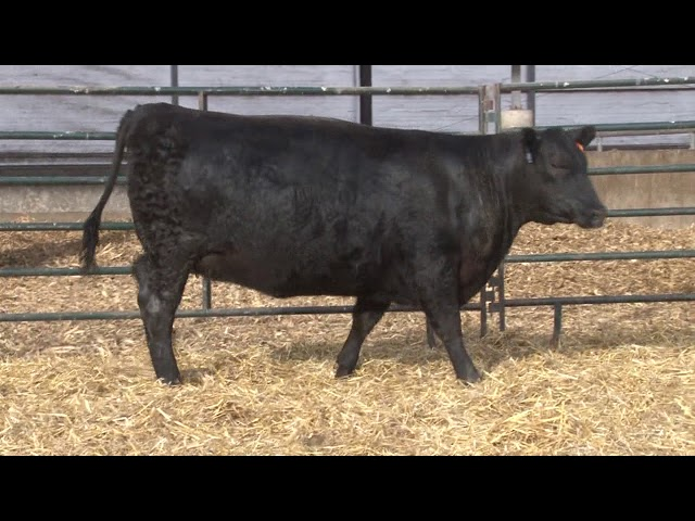 Schiefelbein Angus Farms Lot 419