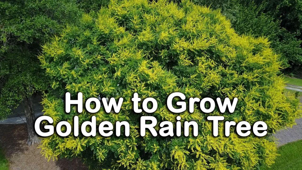 How To Grow Golden Rain Tree Beautiful Yellow Flowering Small Shade