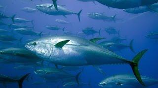 Огромный тунец! Giant tuna