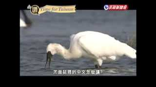 TIME FOR TAIWAN - Black Faced Spoonbills