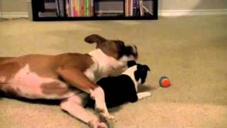Boston Terrier And Boxer Fight To The Death!!