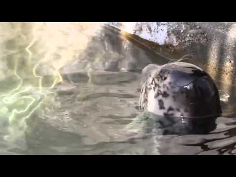Hogan The Harbor Seal Learns To Eat Fish