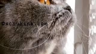 Как кошка смешно мяукает охотясь на птиц через окно