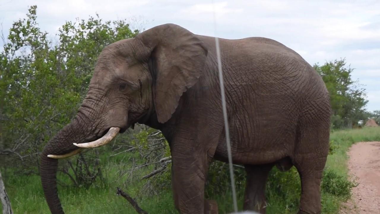 Enraged elephant
