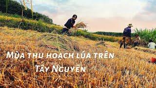 Mùa thu hoạch lúa trên Tây Nguyên,  trên đồi núi Tây Nguyên
