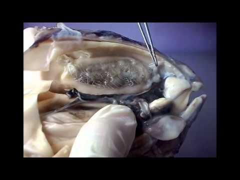 Sepia Digestive System