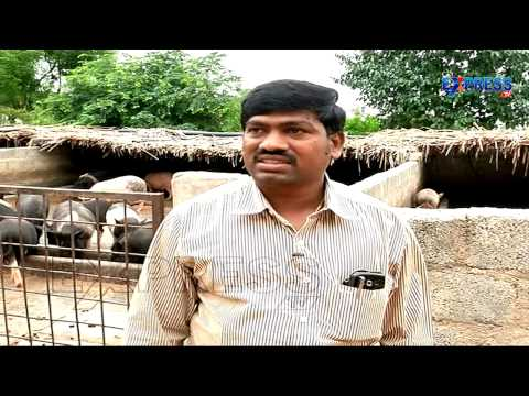 Success Story Of Piggery And Poultry By Mahaboobnagar Farmer | Express TV