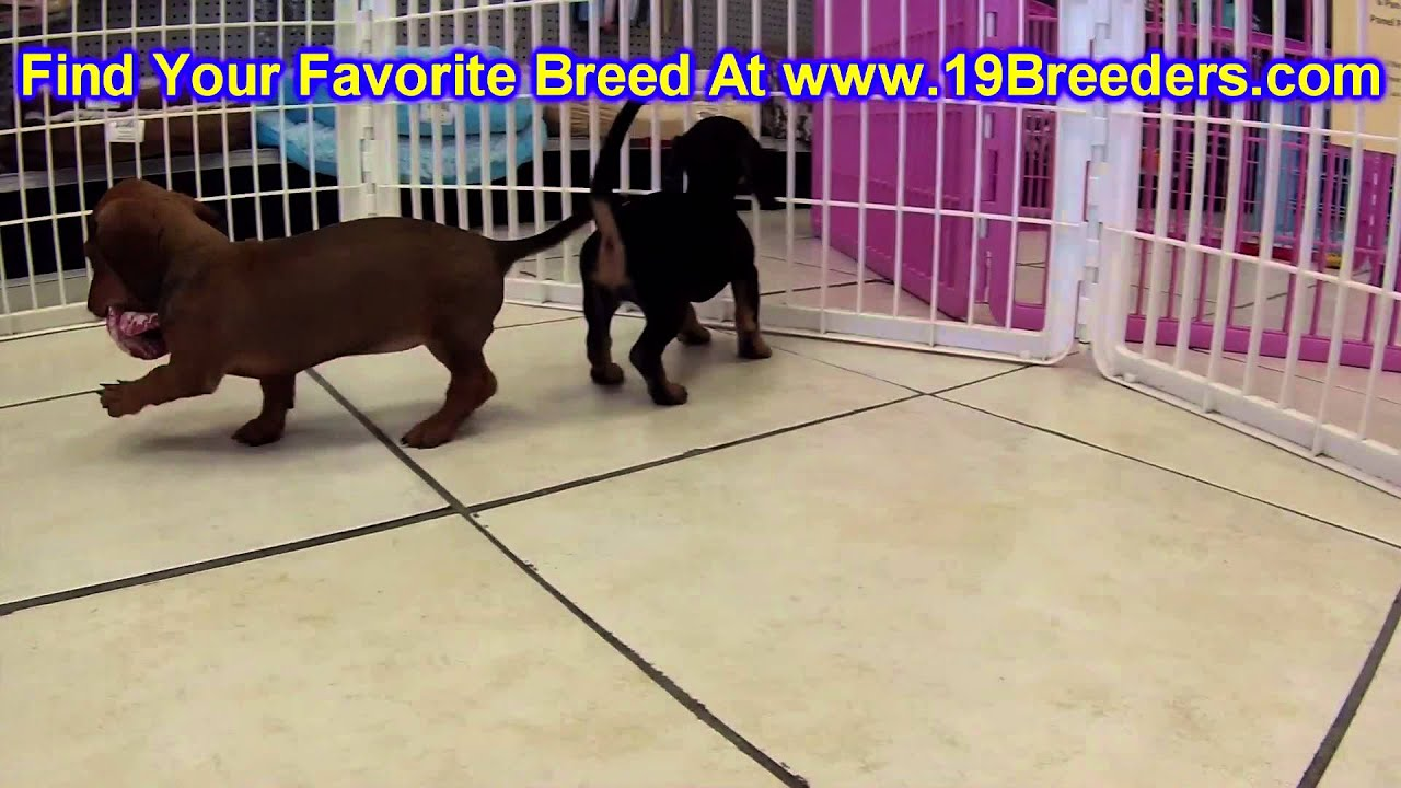 Miniature Dachshund Puppies For Sale In Portland Oregon Or