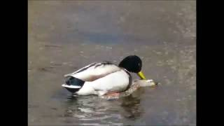 Ducks Mating: Lighthearted Look at  Mallard mating; featuring an all time great