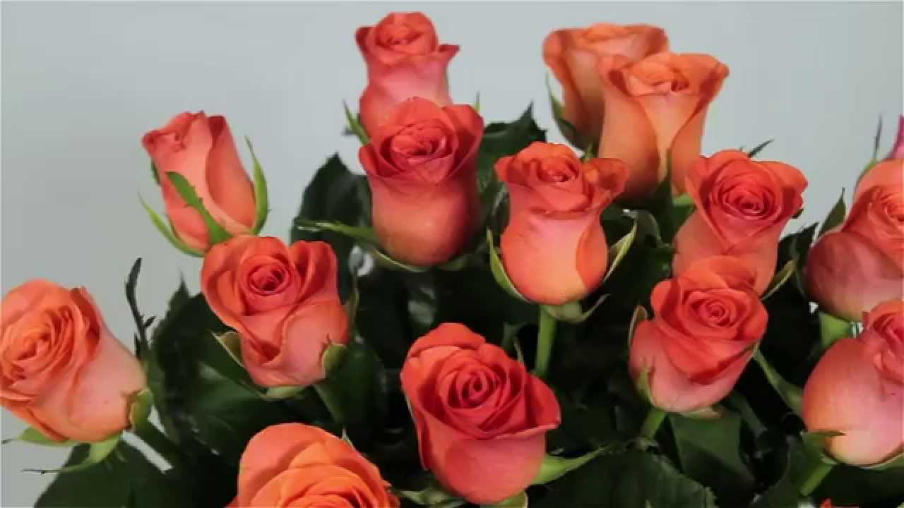 Фото розы кораллового цвета