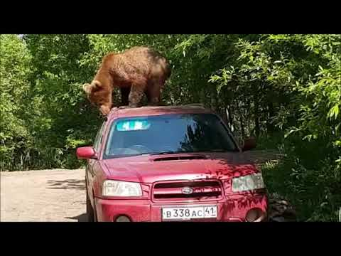 Only in Russia: un oso subió al techo de un auto